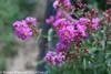 Infinitini Purple Crape Myrtle Bush With Flower Buds