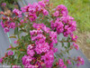 Infinitini Purple Crape Myrtle Foliage and Blooms