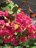 Infinitini Watermelon Crape Myrtle Shrub With Flower Buds