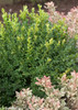 North Star Boxwood Foliage