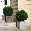 Trimmed Sprinter Boxwood Shrubs in Square Planters