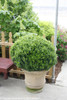 Pruned Sprinter Boxwood Bush in Pot