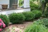 Sprinter Boxwood Hedge
