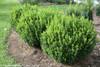 Sprinter Boxwood Landscaping