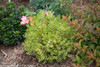 Wedding Ring Boxwood Shrub