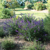 Lo and Behold Blue Chip Jr Butterfly Bush in Landscaping