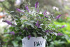 Lo and Behold Blue Chip Jr Butterfly Bush  in Branded Pot