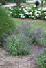 Lo and Behold Blue Chip Jr Butterfly Bush in the Garden