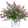 Lo and Behold Lilac Chip Butterfly Bush in Proven Winners Pot