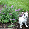 Lo and Behold Lilac Chip Buddleia Blooming With Dog