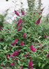 Miss Molly Butterfly Bush Foliage and Flowers