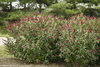 Large Miss Molly Butterfly Bushes