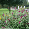 Miss Ruby Butterfly Bush Blooming