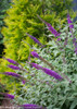 Miss Violet Butterfly Bush Next To Arborvitae