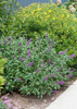 Miss Violet Butterfly Bush in the Landscaping