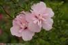 Pink Chiffon Rose of Sharon Flower Cluster