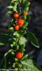 Big Lifeberry Goji Berry Foliage