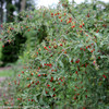 Sweet Lifeberry Goji Berry Branches Covered in Berries