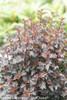 Summer Wine Black Ninebark Foliage