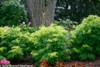 Lemony Lace Elderberry Shrubs