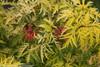Lemony Lace Elderberry Foliage and Berries