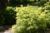 Lemony Lace Elderberry in the Sun