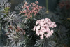 Laced Up Elderberry Foliage and Flowers