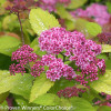 Double Play Big Bang Spirea Flowers and Leaves
