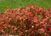 Double Play Big Bang Spirea with Fall Foliage