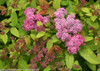 Double Play Big Bang Spirea Foliage and Blooms