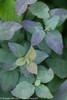 Double Play Blue Kazoo Spirea Blue Leaves