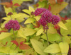 Double Play Candy Corn Spirea Flowers Close Up
