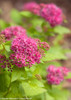 Double Play Gold Spirea Flowers Close Up