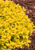 Double Play Gold Spirea With Yellow Leaves