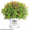 Double Play Gold Spirea in Proven Winners Pot