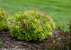 Double Play Gold Spirea Shrub