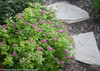 Double Play Gold Spirea Next To Garden Path