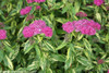 Variegated Double Play Painted Lady Spirea Leaves and Flowers