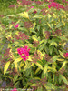 Double Play Painted Lady Spirea Beginning to Bloom