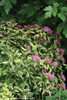 Double Play Painted Lady Spirea Shrub Flowering