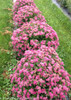 Row of Double Play Pink Spirea Shrubs