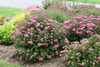 Double Play Pink Spirea Shrubs Covered in Flowers