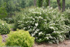 Large Wedding Cake Spirea Covered in Blooms