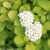 Glow Girl Spirea Flowers Close Up