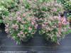Bloomerang Dwarf Purple Lilac Shrubs Blooming at the Greenhouse