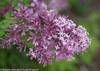 Bloomerang Purple Lilac Flower Close Up