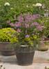 Bloomerang Purple Lilac Growing in Garden Planter