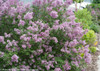 Large Bloomerang Purple Lilac Shrub Covered in Blooms