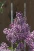 Bloomerang Purple Lilac Bush With Flowers