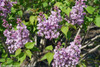 Scentara Double Blue Lilac Flowers Leaves and Branches